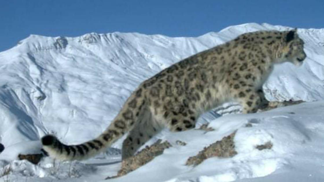 उत्तरकाशी में देश का पहला हिम तेंदुआ संरक्षण केंद्र