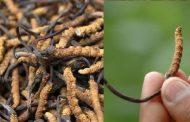 कीड़ा-जड़ी (यारशागुंबा) दुनिया की सबसे महंगी जड़ी-बूटी