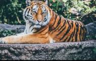 एक्सक्लूसिव: अब उच्च हिमालयी क्षेत्र में तलाशे जाएंगे बाघ, तीन से पांच हजार मीटर की ऊंचाई पर लगेंगे ट्रैप कैमरा