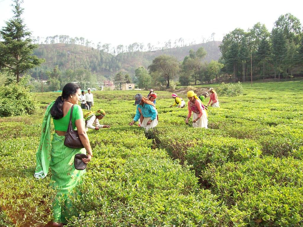 Organic Herbal Teas in Nainital