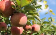 सेब का उत्पादन बन रहा आय का साधन
