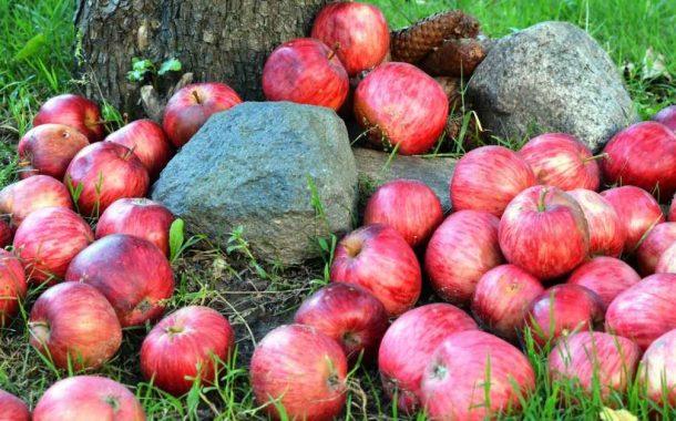 विकसित हुई कम बारिश-बर्फबारी में होने वाले सेब की किस्म