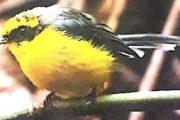 कार्बेट रिजर्व में दिखा नई प्रजाति का पक्षी